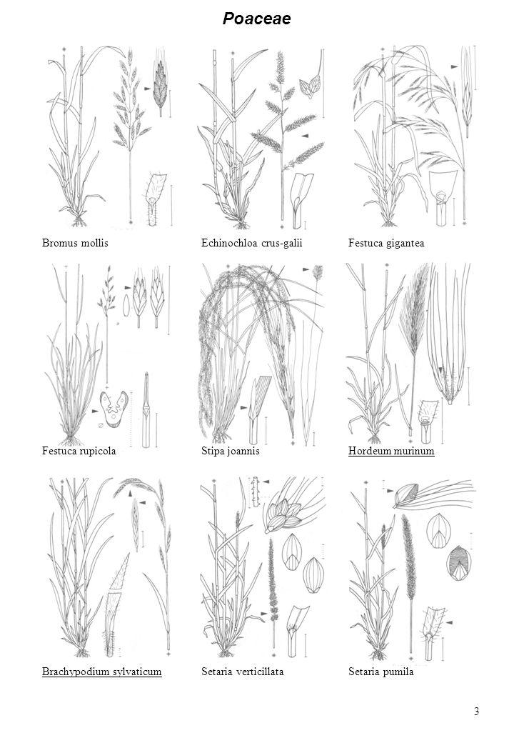 Poaceae Bromus mollisEchinochloa crus-galiiFestuca gigantea Festuca rupicolaStipa joannisHordeum murinum Brachypodium sylvaticumSetaria pumilaSetaria