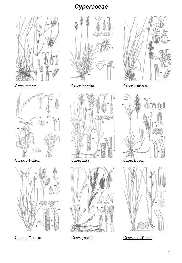 Cyperaceae Carex remotaCarex leporina Carex hirtaCarex sylvatica Carex gracilisCarex pallescens Carex flacca Carex muricata Carex acutiformis 4