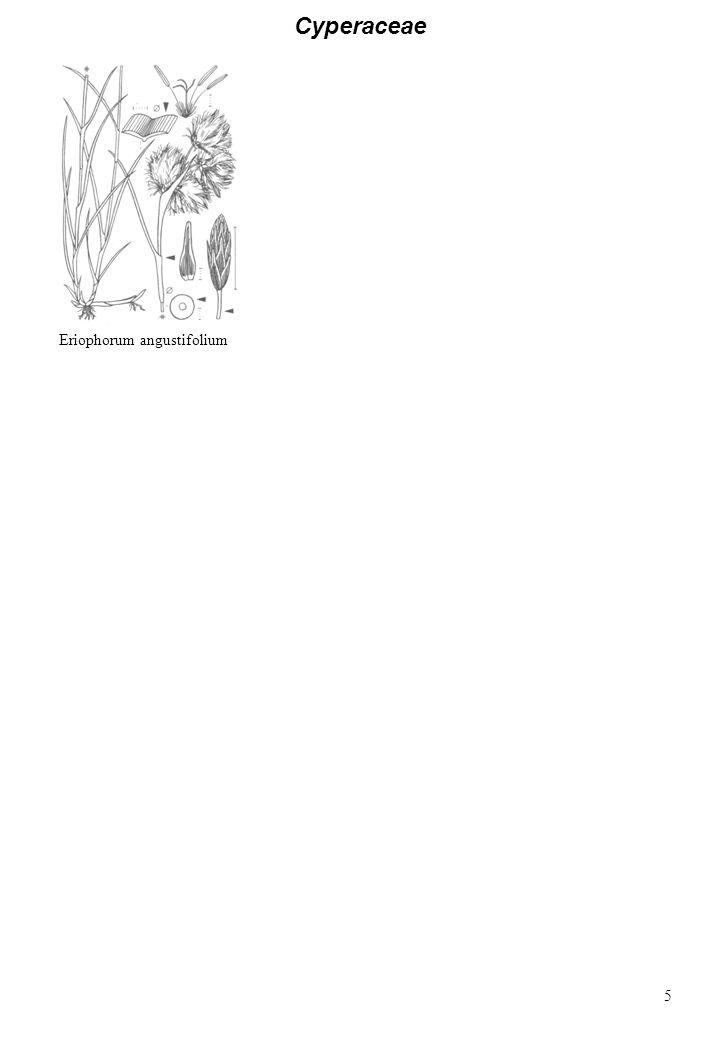 Cyperaceae Eriophorum angustifolium 5