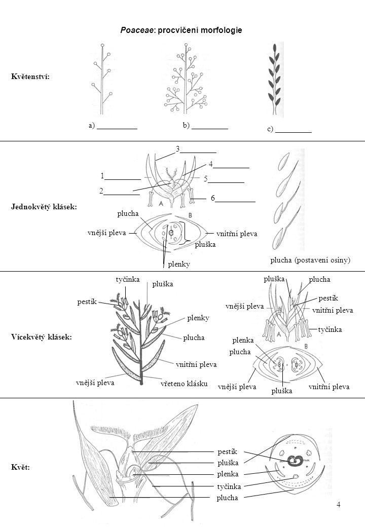 Vícekvětý klásek: Jednokvětý klásek: Květenství: a) __________b) _________ c) _________ vnější pleva vřeteno klásku vnitřní pleva plucha pluška plenky vnější plevavnitřní pleva vnější pleva vnitřní pleva plucha pluška Květ: plucha pluška plenka pestík tyčinka Poaceae: procvičení morfologie pestík tyčinka pestík plucha pluška plenka 1_________ 5_________ 3_________ 4_________ vnější pleva vnitřní pleva plucha pluška plenky 2_________ 6__________ plucha (postavení osiny) 4