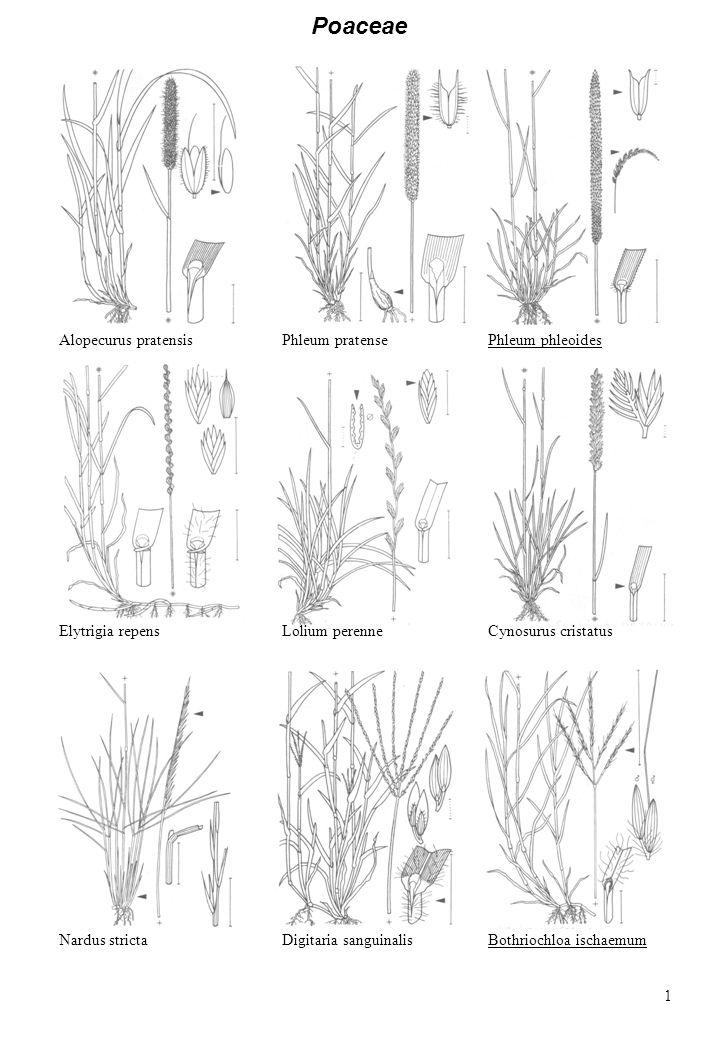 Alopecurus pratensisPhleum pratense Elytrigia repensLolium perenneCynosurus cristatus Nardus stricta Poaceae Phleum phleoides Digitaria sanguinalisBothriochloa ischaemum 1