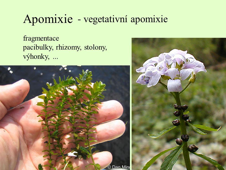 Apomixie - vegetativní apomixie fragmentace pacibulky, rhizomy, stolony, výhonky,...