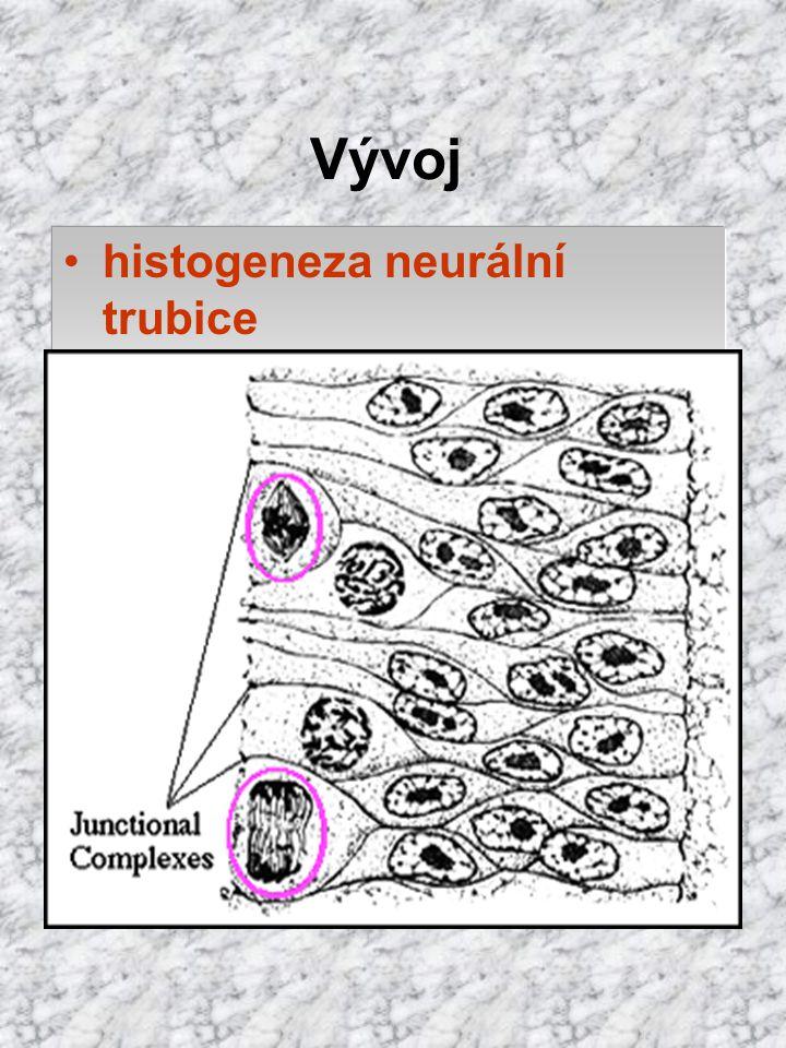histogeneza neurální trubice stěnu tvoří mnohovrstevný neuroepitel lamina limitans interna = junkční komplexy na apikálním konci buněk (k lumen) membr
