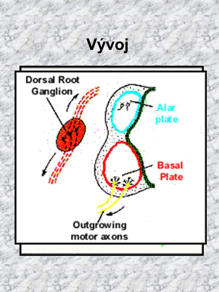 mícha alární ploténka senzorická oblast sulcus limitans bazální ploténka motorická oblast v místě kontaktu plotének: viscerální oblast Vývoj
