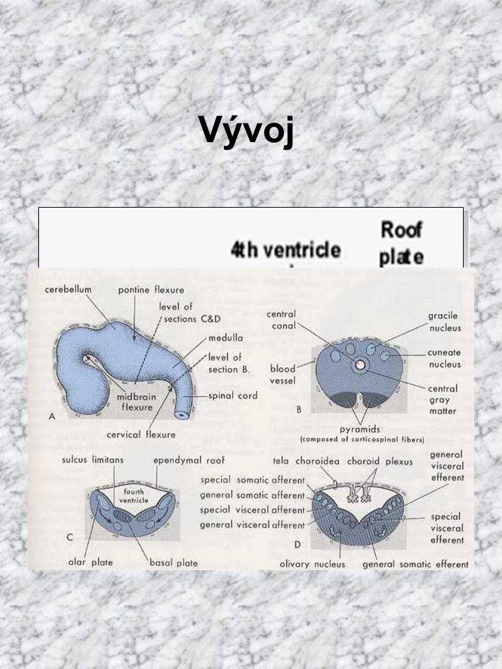 rombencefalon stropní ploténka tenká lamela cylindr. bb. invazí mezenchymu vchlipována do IV. komory jako tela chorioidea