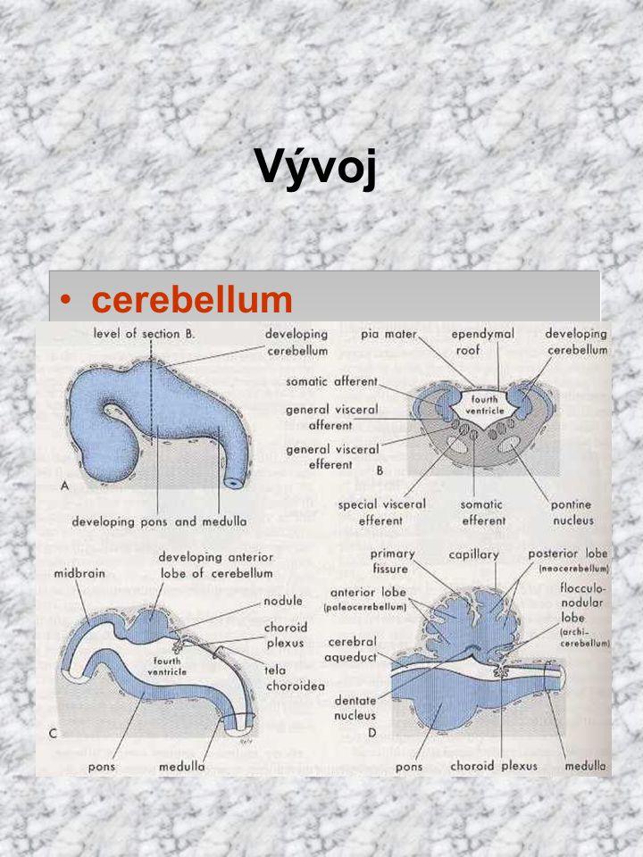 Vývoj cerebellum labium rhombencephali cerebelární ploténka germinální zóna plášťová (Purkyň. bb.) marginální později zevní vrstva granulární (fce ger