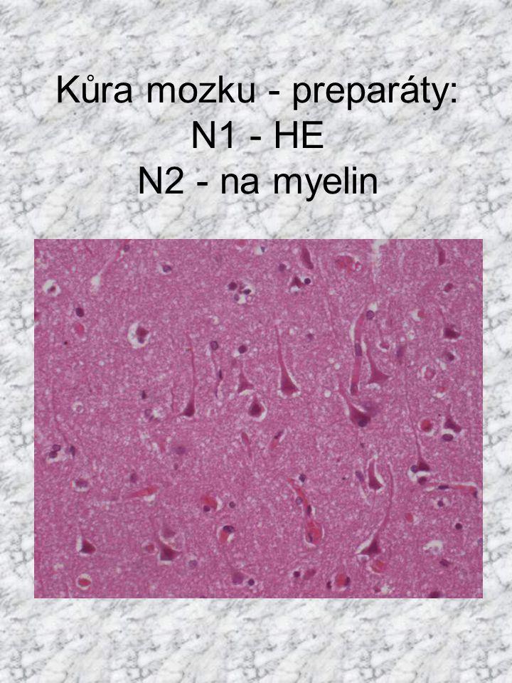 Kůra mozku - preparáty: N1 - HE N2 - na myelin