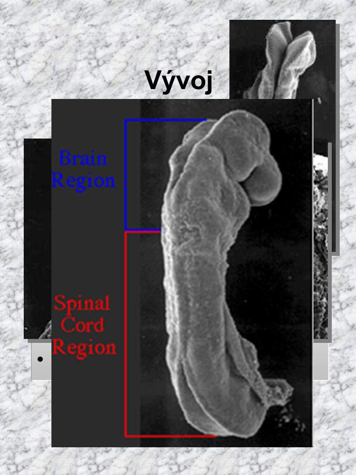 Vývoj neurální valy splývají ve výši 4. prvosegmentu (krční oblast) neuroporus anterior uzávěr 25. den vývoje neuroporus posterior 27. den neurální tr