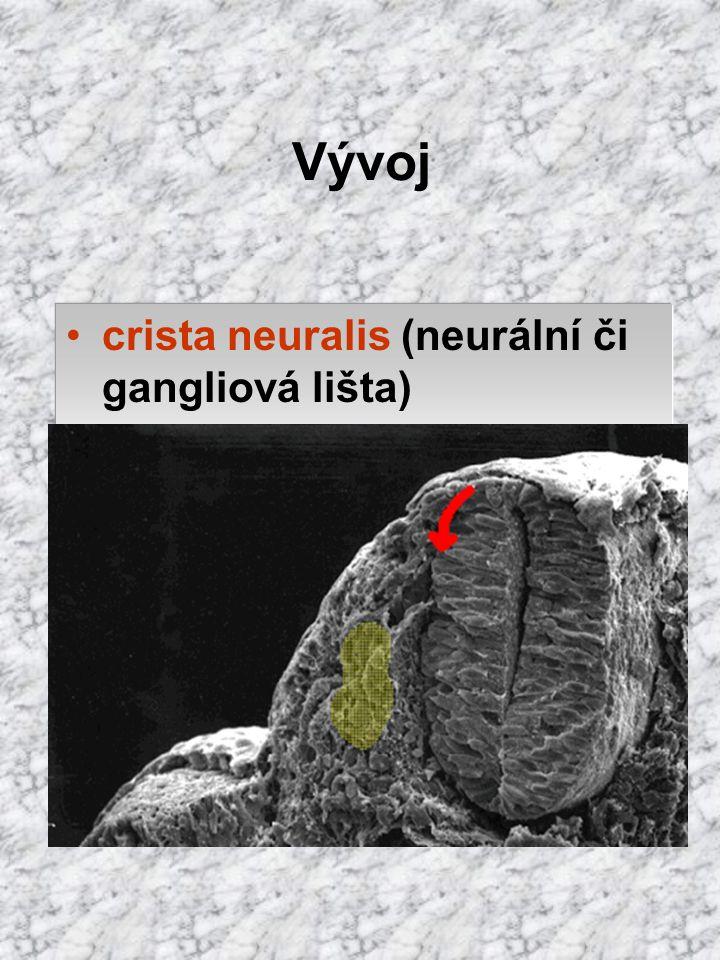 Vývoj crista neuralis (neurální či gangliová lišta) bb. na okraji trubice, které se oddělí při při jejím uzavírání 2 dorzolat. umístěné pásy periferní
