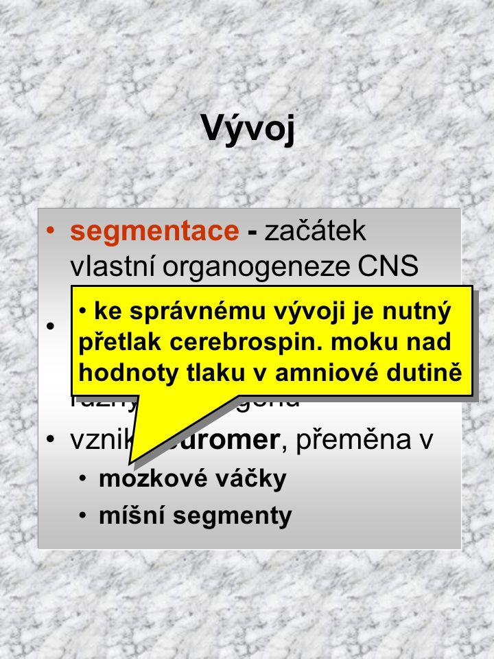 Vývoj segmentace - začátek vlastní organogeneze CNS poziční informace bb. notochordu  aktivace různých sad genů vznik neuromer, přeměna v mozkové váč