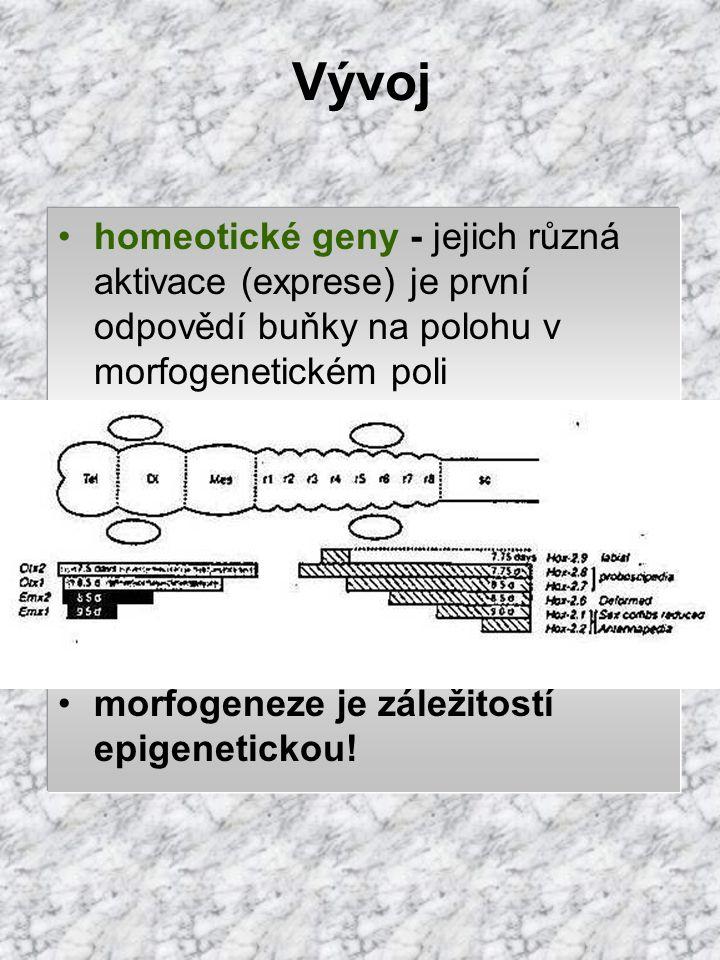 Vývoj morfogeneze: diferenciace buňky - vývoj definovaného tvaru a funkce determinace - získání informace o budoucí diferenciaci např. kontaktem s již