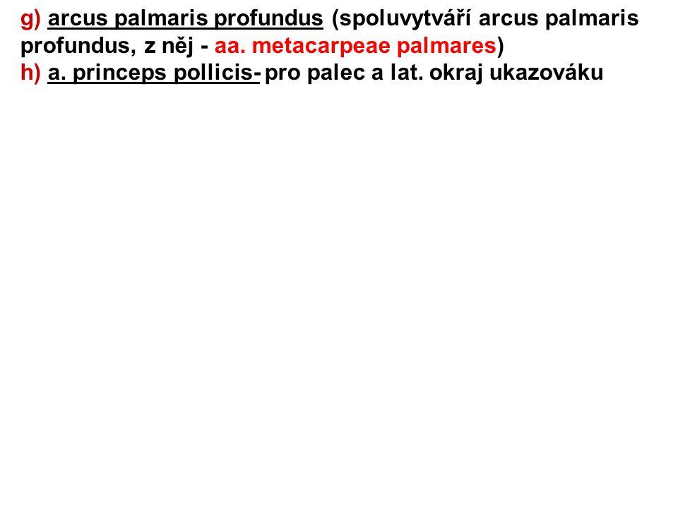 g) arcus palmaris profundus (spoluvytváří arcus palmaris profundus, z něj - aa. metacarpeae palmares) h) a. princeps pollicis- pro palec a lat. okraj