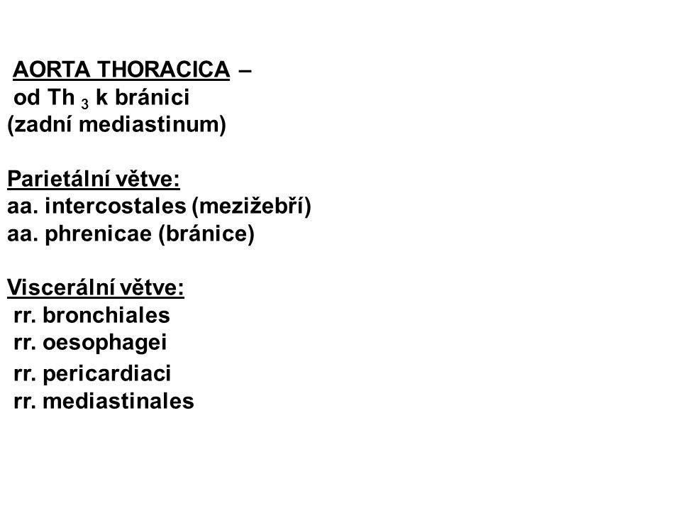 AORTA THORACICA – od Th 3 k bránici (zadní mediastinum) Parietální větve: aa. intercostales (mezižebří) aa. phrenicae (bránice) Viscerální větve: rr.