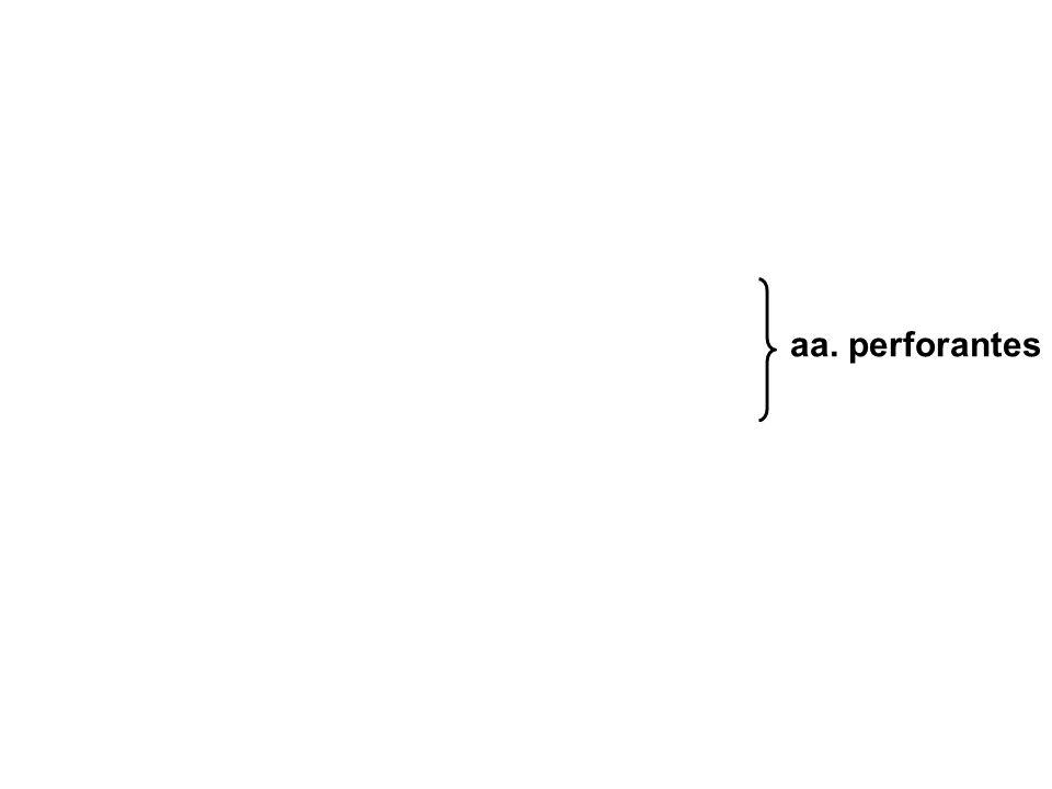 aa. perforantes