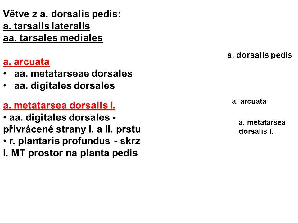 Větve z a. dorsalis pedis: a. tarsalis lateralis aa. tarsales mediales a. arcuata aa. metatarseae dorsales aa. digitales dorsales a. metatarsea dorsal