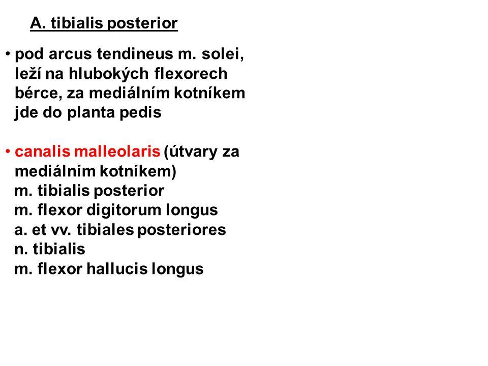 A. tibialis posterior pod arcus tendineus m. solei, leží na hlubokých flexorech bérce, za mediálním kotníkem jde do planta pedis canalis malleolaris (