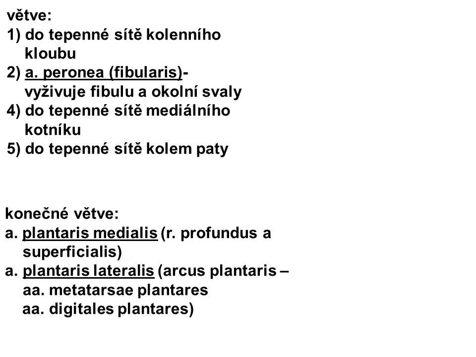 větve: 1) do tepenné sítě kolenního kloubu 2) a. peronea (fibularis)- vyživuje fibulu a okolní svaly 4) do tepenné sítě mediálního kotníku 5) do tepen