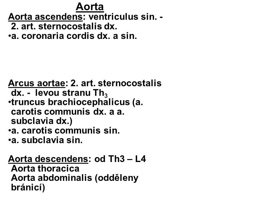 Aorta Aorta ascendens: ventriculus sin. - 2. art. sternocostalis dx. a. coronaria cordis dx. a sin. Arcus aortae: 2. art. sternocostalis dx. - levou s
