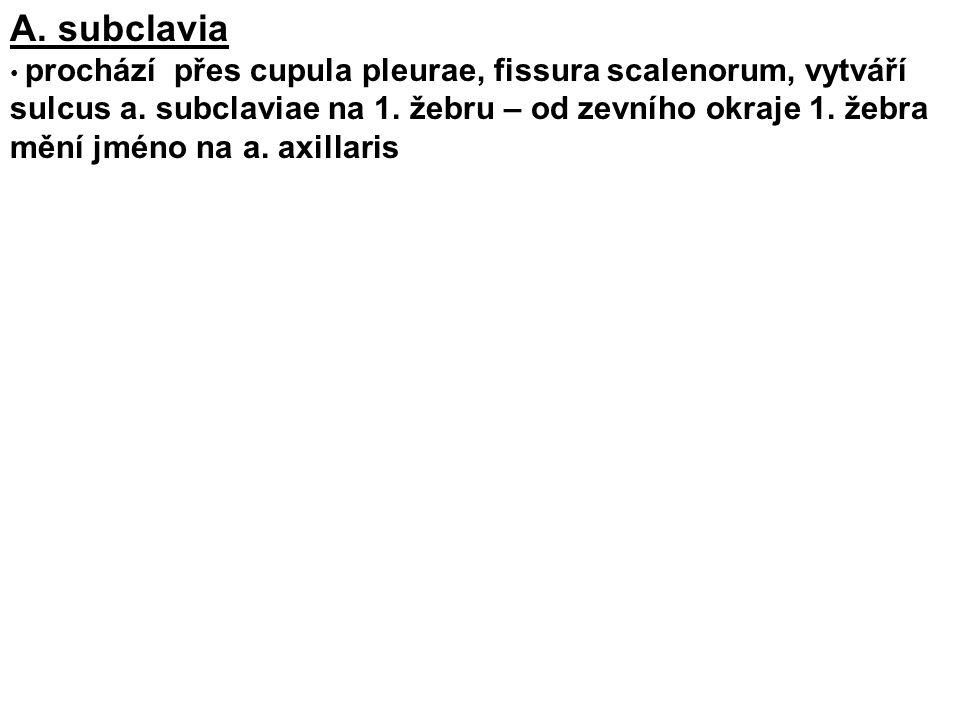 A. subclavia prochází přes cupula pleurae, fissura scalenorum, vytváří sulcus a. subclaviae na 1. žebru – od zevního okraje 1. žebra mění jméno na a.