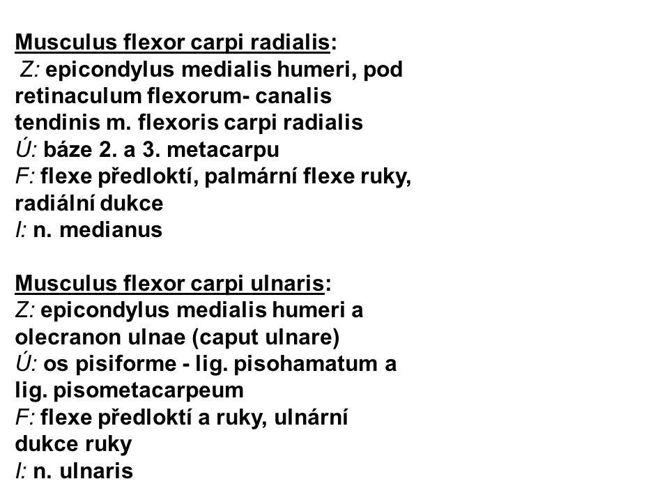 Musculus flexor carpi radialis: Z: epicondylus medialis humeri, pod retinaculum flexorum- canalis tendinis m. flexoris carpi radialis Ú: báze 2. a 3.