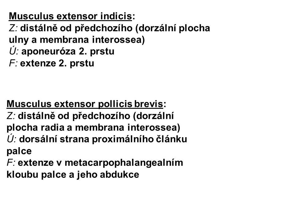 Musculus extensor pollicis brevis: Z: distálně od předchozího (dorzální plocha radia a membrana interossea) Ú: dorsální strana proximálního článku pal