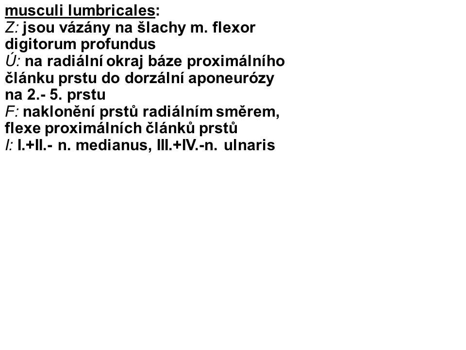 musculi lumbricales: Z: jsou vázány na šlachy m. flexor digitorum profundus Ú: na radiální okraj báze proximálního článku prstu do dorzální aponeurózy