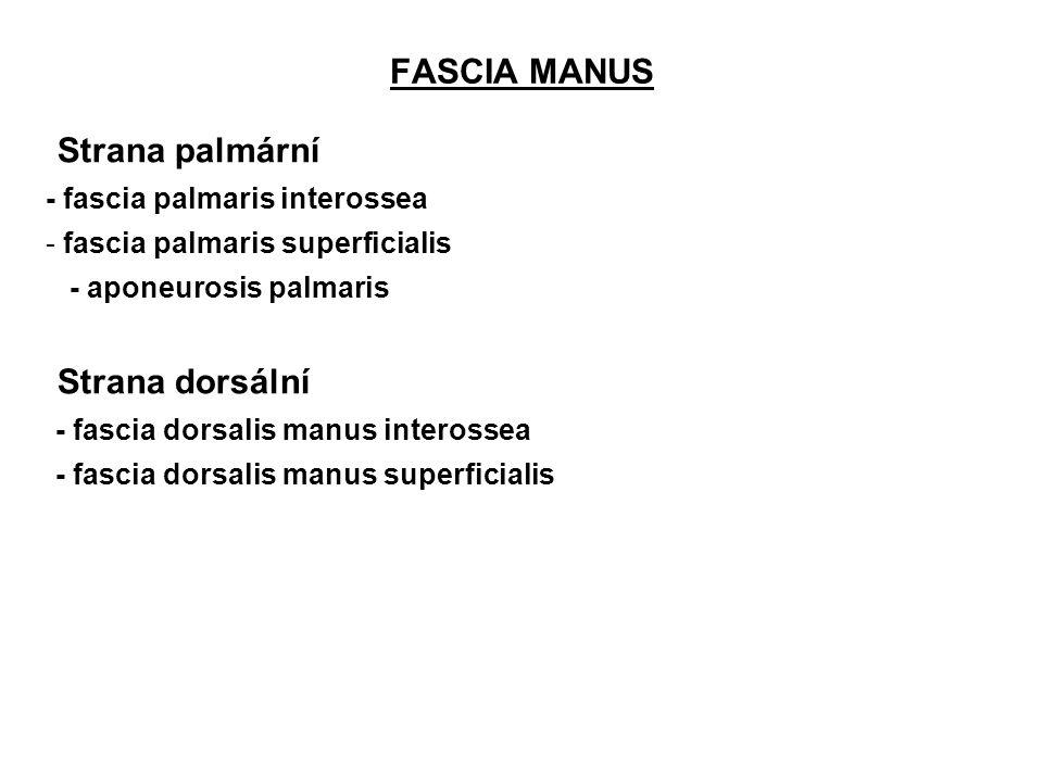 FASCIA MANUS Strana palmární - fascia palmaris interossea - fascia palmaris superficialis - aponeurosis palmaris Strana dorsální -- fascia dorsalis ma