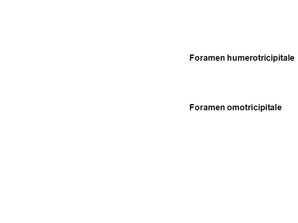 Foramen humerotricipitale Foramen omotricipitale
