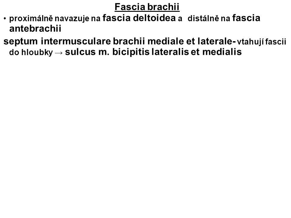 Fascia brachii proximálně navazuje na fascia deltoidea a distálně na fascia antebrachii septum intermusculare brachii mediale et laterale- vtahují fas