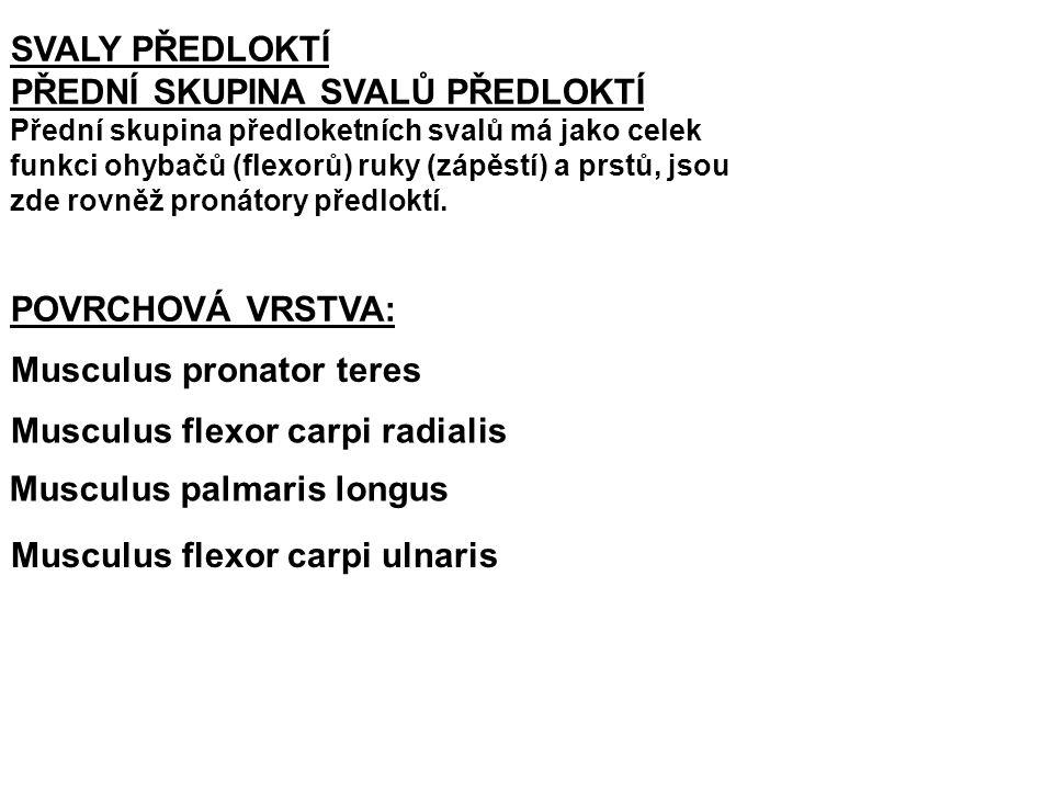 Musculus extensor pollicis brevis: Z: distálně od předchozího (dorzální plocha radia a membrana interossea) Ú: dorsální strana proximálního článku palce F: extenze v metacarpophalangealním kloubu palce a jeho abdukce Musculus extensor indicis: Z: distálně od předchozího (dorzální plocha ulny a membrana interossea) Ú: aponeuróza 2.
