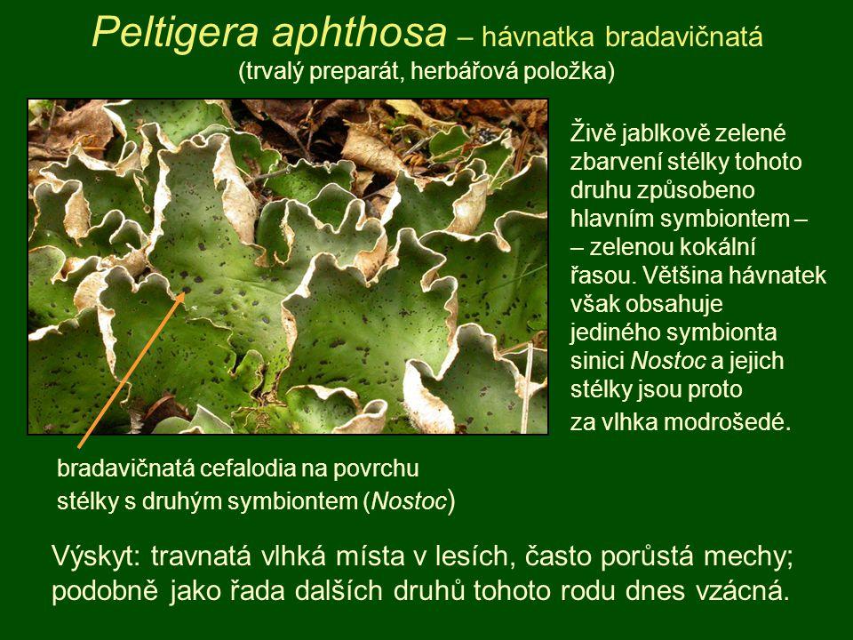 Peltigera aphthosa – hávnatka bradavičnatá (trvalý preparát, herbářová položka) Výskyt: travnatá vlhká místa v lesích, často porůstá mechy; podobně ja