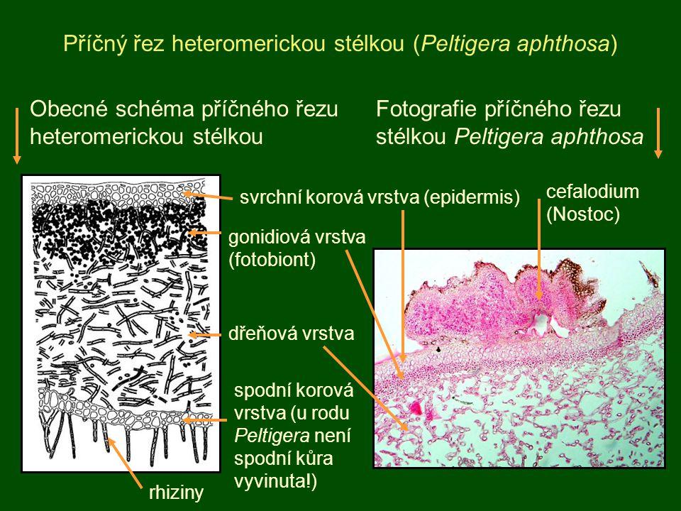 Příčný řez heteromerickou stélkou (Peltigera aphthosa) svrchní korová vrstva (epidermis) gonidiová vrstva (fotobiont) dřeňová vrstva spodní korová vrs