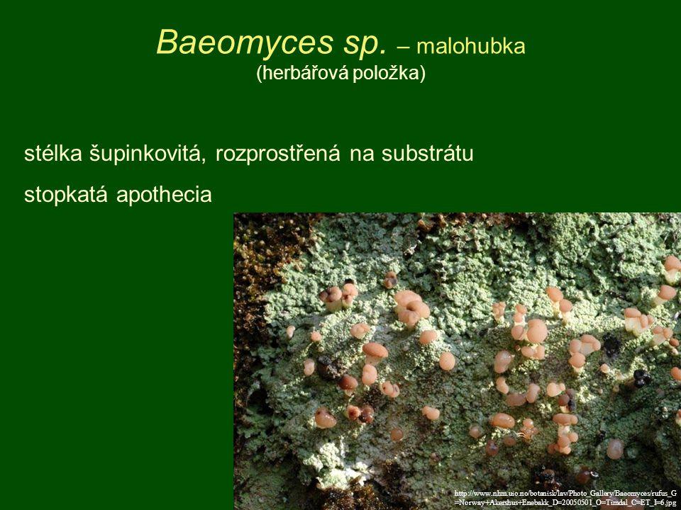 http://www.nhm.uio.no/botanisk/lav/Photo_Gallery/Baeomyces/rufus_G =Norway+Akershus+Enebakk_D=20050501_O=Timdal_C=ET_I=6.jpg Baeomyces sp. – malohubka