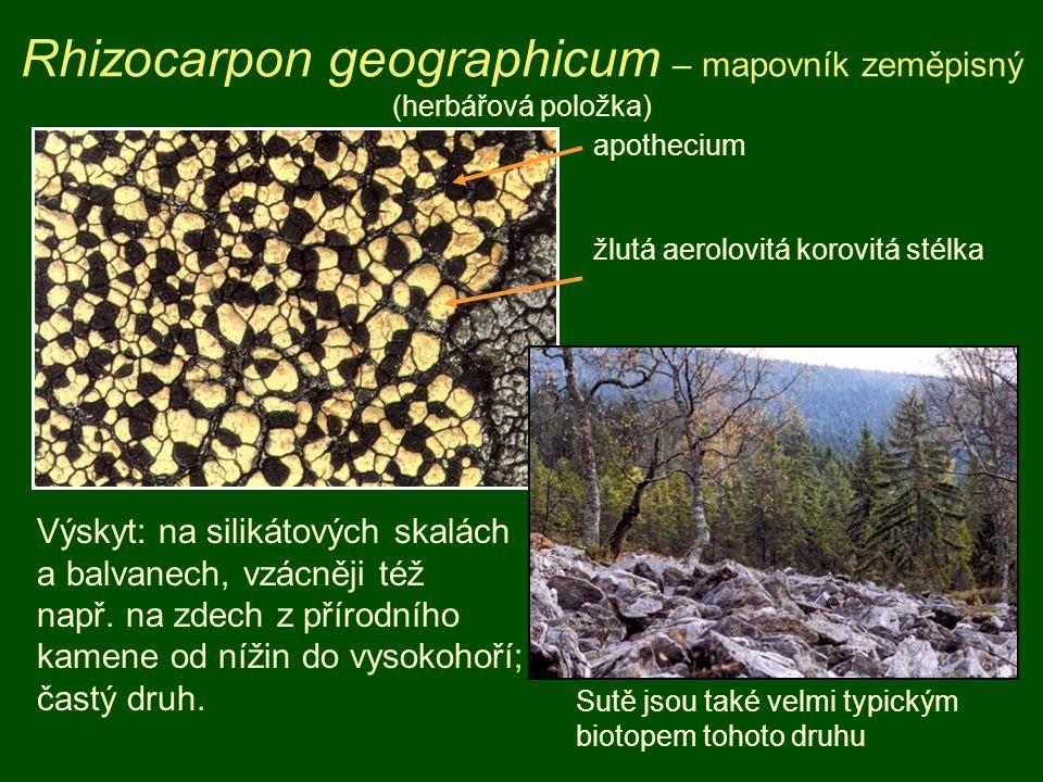 Rhizocarpon geographicum – mapovník zeměpisný (herbářová položka) apothecium žlutá aerolovitá korovitá stélka Výskyt: na silikátových skalách a balvan