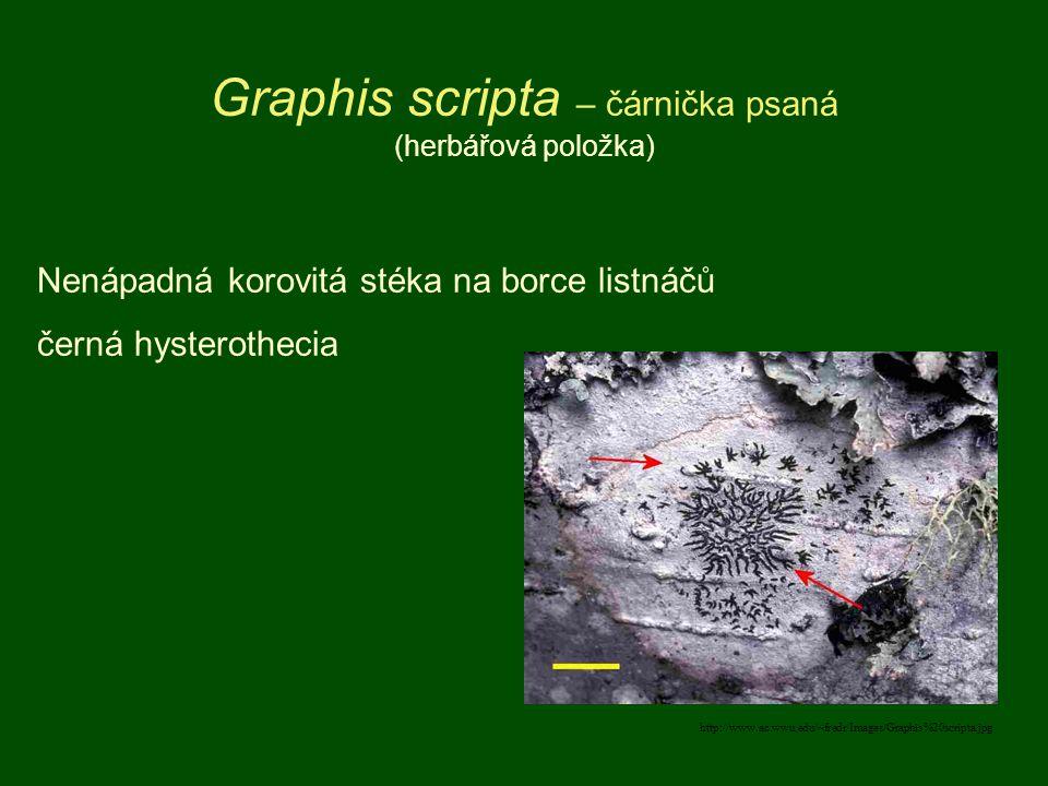 http://www.ac.wwu.edu/~fredr/Images/Graphis%20scripta.jpg Graphis scripta – čárnička psaná (herbářová položka) Nenápadná korovitá stéka na borce listn