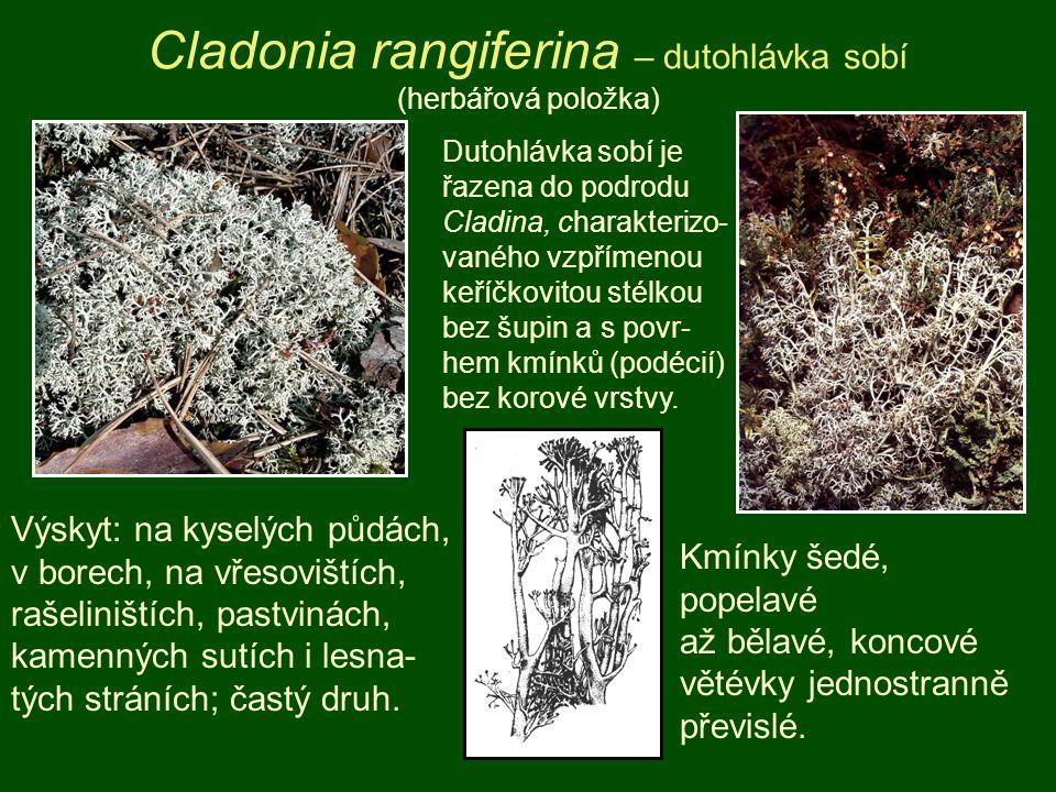 Cladonia rangiferina – dutohlávka sobí (herbářová položka) Výskyt: na kyselých půdách, v borech, na vřesovištích, rašeliništích, pastvinách, kamenných