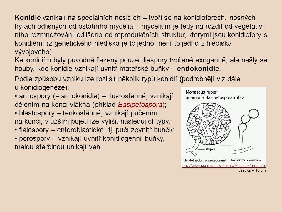 Konidie vznikají na speciálních nosičích – tvoří se na konidioforech, nosných hyfách odlišných od ostatního mycelia – mycelium je tedy na rozdíl od vegetativ- ního rozmnožování odlišeno od reprodukčních struktur, kterými jsou konidiofory s konidiemi (z genetického hlediska je to jedno, není to jedno z hlediska vývojového).