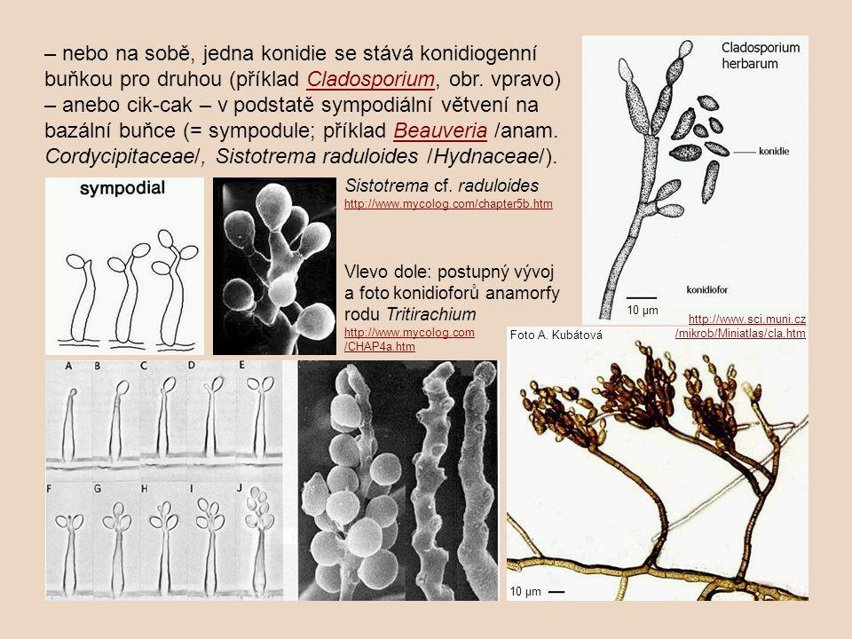 – nebo na sobě, jedna konidie se stává konidiogenní buňkou pro druhou (příklad Cladosporium, obr. vpravo) – anebo cik-cak – v podstatě sympodiální vět