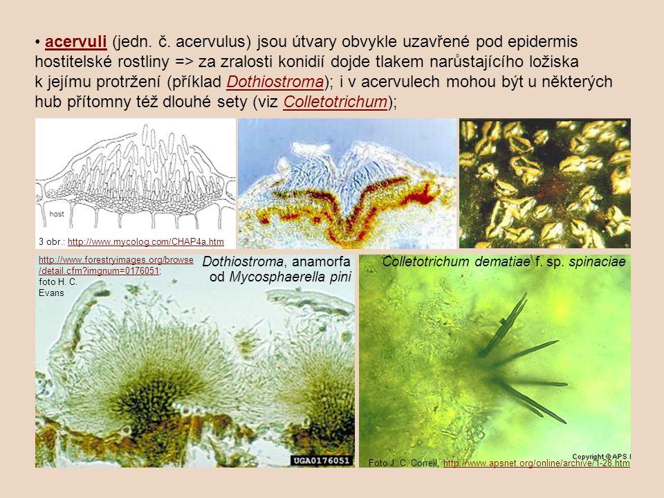 acervuli (jedn. č. acervulus) jsou útvary obvykle uzavřené pod epidermis hostitelské rostliny => za zralosti konidií dojde tlakem narůstajícího ložisk