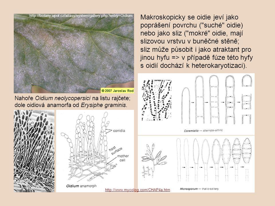 """Různé formy oidií stopkovýtrusných hub – vlevo nahoře slizové """"kapky obsahující shluky oidií (""""mokré oidie), vpravo dole detaily dvojjaderných oidií ve společném slizu a jejich klíčení."""