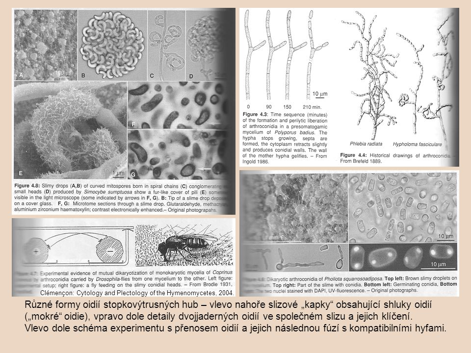 Pojetí pojmu artrokonidie se různí – buď je používán pouze pro oidie (pak je mezi tyto termíny v zásadě možno položit rovnítko) nebo je brán v širším pojetí i pro tlustostěnné buňky, jež se mohou uvolnit rozpadem hyf, ale nemusí k tomu bezprostředně docházet (jejich hlavní úloha netkví v šíření, ale v přežívání – viz hyfy a jejich modifikace): buňky oddělující se z terminální pozice – aleuriospory; buňky tvořící se v hyfách mimo terminální pozice – chlamydospory.chlamydospory Tvorba stěny a oddělení chlamydospory Pleurotus cystidiosus.