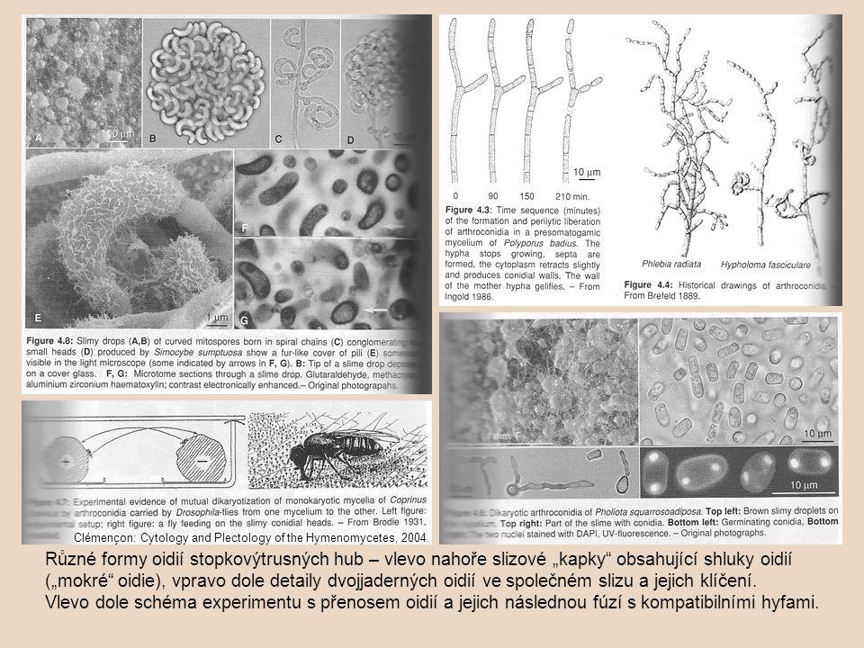 Sporangia u některých zástupců odd.Oomycota (např.