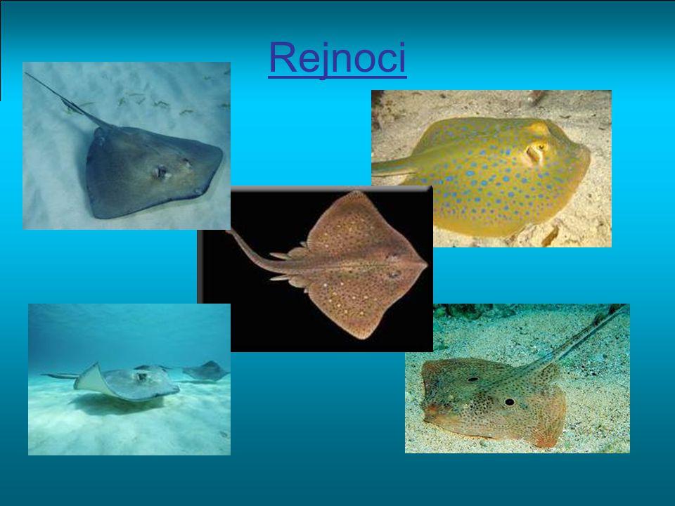 Hlavní znaky noční živočichové splývají se dnem vnitřní oplození Způsob života většina žije na mořském dně, ale existují i druhy sladkovodní potravu hledají u dna