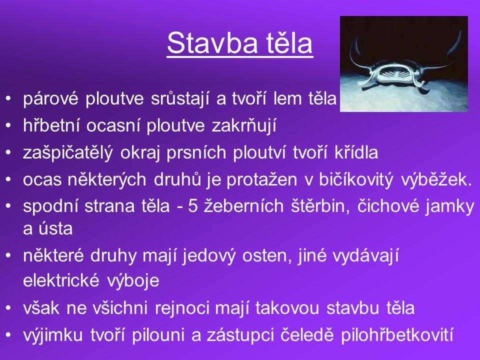 Zástupci parejnok elektrický rejnok ostnatý rejnok manta rejnok hladký rejnok lesklý rejnok bílý rejnok Castelnauův rejnok maltský