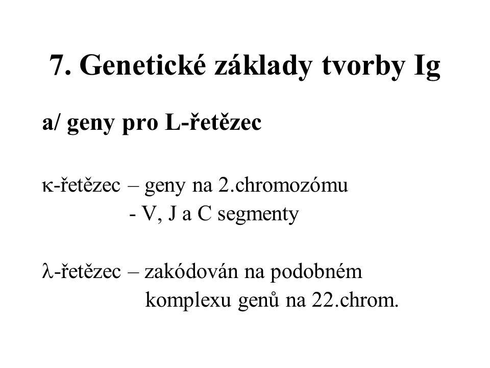 7. Genetické základy tvorby Ig a/ geny pro L-řetězec  -řetězec – geny na 2.chromozómu - V, J a C segmenty -řetězec – zakódován na podobném komplexu g