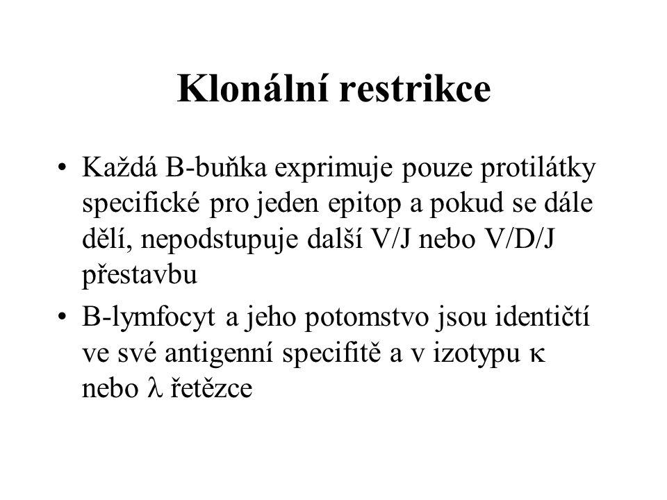 Klonální restrikce Každá B-buňka exprimuje pouze protilátky specifické pro jeden epitop a pokud se dále dělí, nepodstupuje další V/J nebo V/D/J přesta