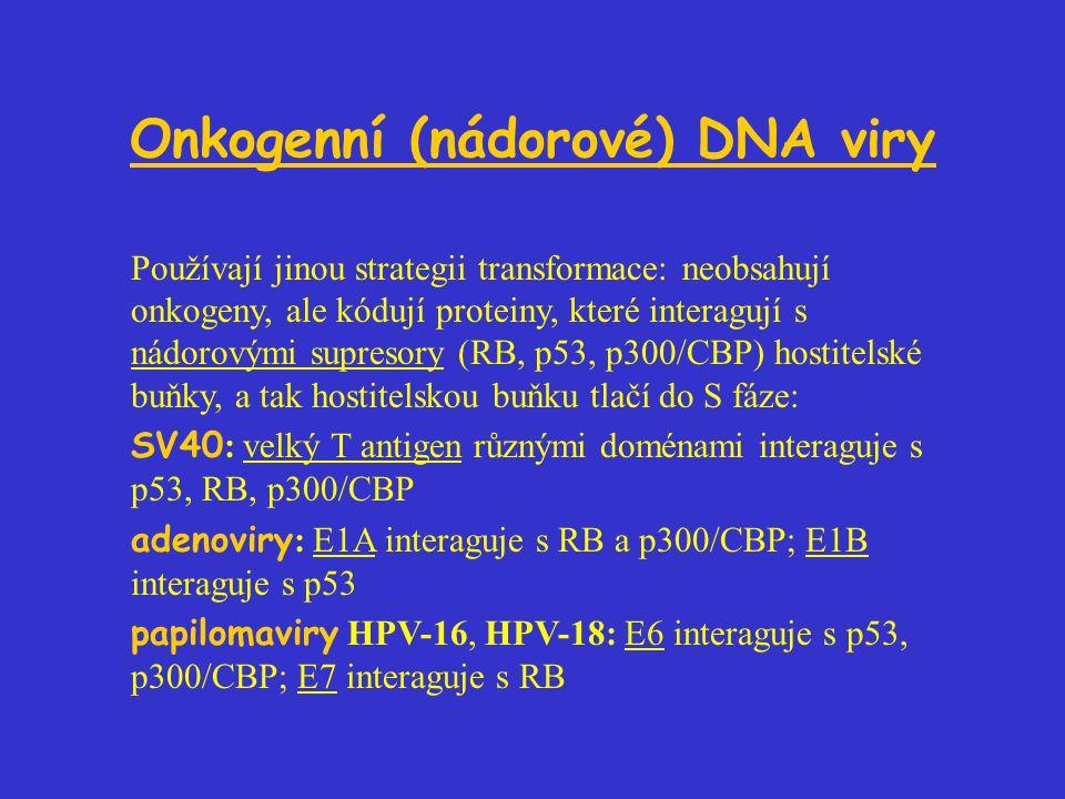 Onkogenní (nádorové) DNA viry Používají jinou strategii transformace: neobsahují onkogeny, ale kódují proteiny, které interagují s nádorovými supresory (RB, p53, p300/CBP) hostitelské buňky, a tak hostitelskou buňku tlačí do S fáze: SV40 : velký T antigen různými doménami interaguje s p53, RB, p300/CBP adenoviry : E1A interaguje s RB a p300/CBP; E1B interaguje s p53 papilomaviry HPV-16, HPV-18: E6 interaguje s p53, p300/CBP; E7 interaguje s RB