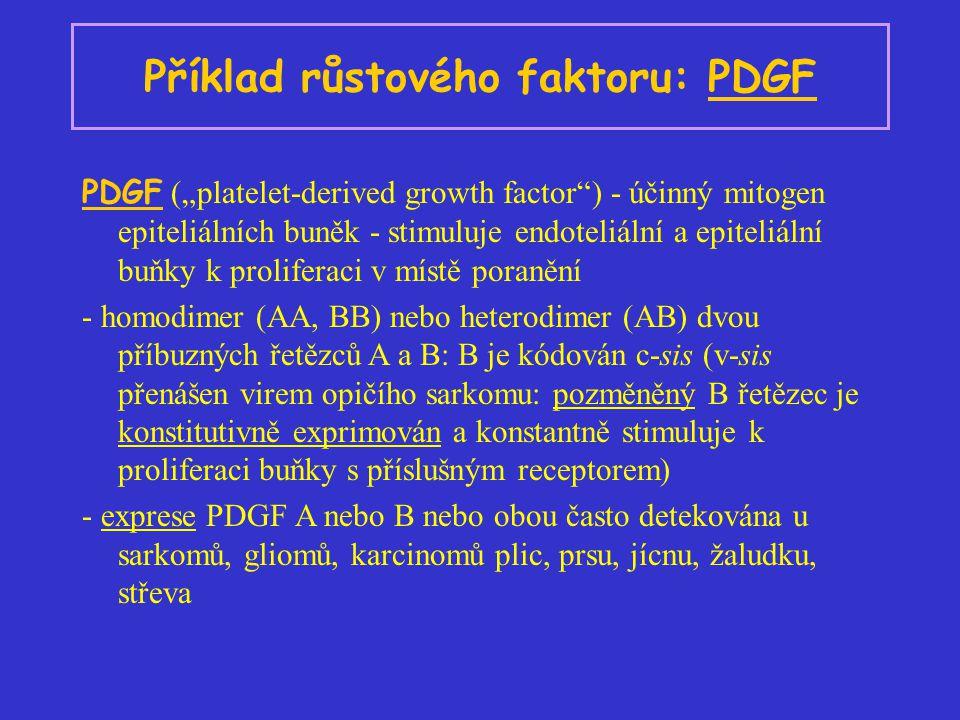 """Příklad růstového faktoru: PDGF PDGF (""""platelet-derived growth factor ) - účinný mitogen epiteliálních buněk - stimuluje endoteliální a epiteliální buňky k proliferaci v místě poranění - homodimer (AA, BB) nebo heterodimer (AB) dvou příbuzných řetězců A a B: B je kódován c-sis (v-sis přenášen virem opičího sarkomu: pozměněný B řetězec je konstitutivně exprimován a konstantně stimuluje k proliferaci buňky s příslušným receptorem) - exprese PDGF A nebo B nebo obou často detekována u sarkomů, gliomů, karcinomů plic, prsu, jícnu, žaludku, střeva"""