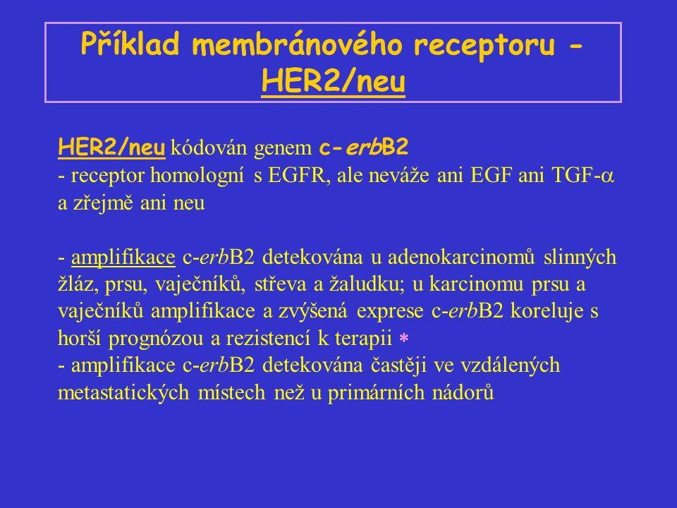 Příklad membránového receptoru - HER2/neu HER2/neu kódován genem c-erbB2 - receptor homologní s EGFR, ale neváže ani EGF ani TGF-  a zřejmě ani neu - amplifikace c-erbB2 detekována u adenokarcinomů slinných žláz, prsu, vaječníků, střeva a žaludku; u karcinomu prsu a vaječníků amplifikace a zvýšená exprese c-erbB2 koreluje s horší prognózou a rezistencí k terapii  - amplifikace c-erbB2 detekována častěji ve vzdálených metastatických místech než u primárních nádorů