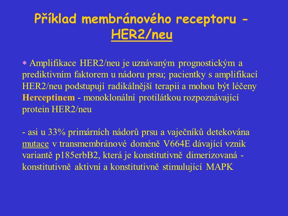 Příklad membránového receptoru - HER2/neu  Amplifikace HER2/neu je uznávaným prognostickým a prediktivním faktorem u nádoru prsu; pacientky s amplifikací HER2/neu podstupují radikálnější terapii a mohou být léčeny Herceptinem - monoklonální protilátkou rozpoznávající protein HER2/neu - asi u 33% primárních nádorů prsu a vaječníků detekována mutace v transmembránové doméně V664E dávající vznik variantě p185erbB2, která je konstitutivně dimerizovaná - konstitutivně aktivní a konstitutivně stimulující MAPK